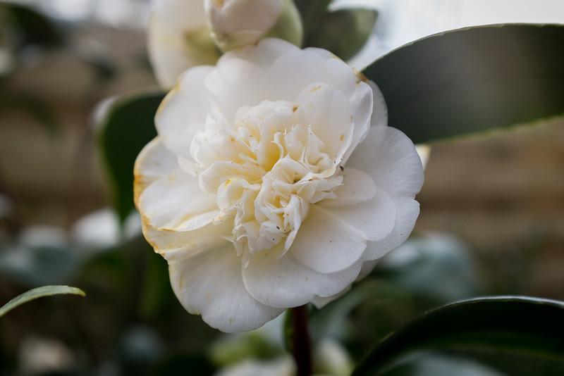 Camellia 'Snow White'