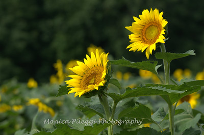 Sunflowers taken at McKee Beshers Wildlife Management Area, 12 July 2015.