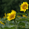 Sunflowers taken at McKee Beshers Wildlife Management Area, 12 July 2015.