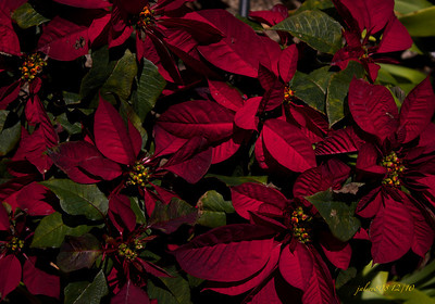Poinsettias121810