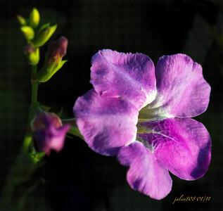 MakapuuFlowerC010811