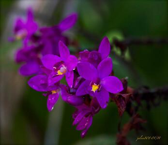 Epidendrum012211