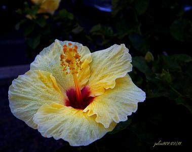 Hibiscus031411