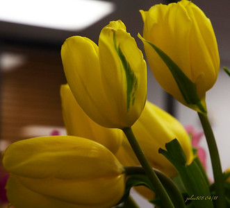 YellowTulips042811