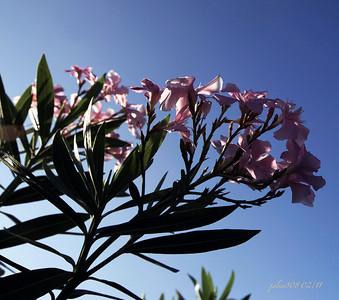 Oleander022611