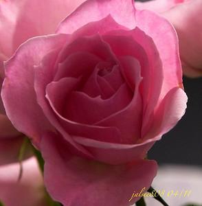 PinkRoseB042811