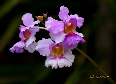 Orchid053011