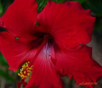 Hibiscus013111