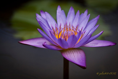 waterlily052712-1
