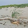 August 1 2009, Dune grasses at a beach near Astoria, Oregon.