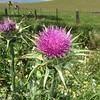 April 25, 2009 - Thistle at Rush Ranch outside Fairfield, CA.