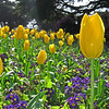 March 28, 2009 - Tulips in Golden Gate Park, San Francisco.