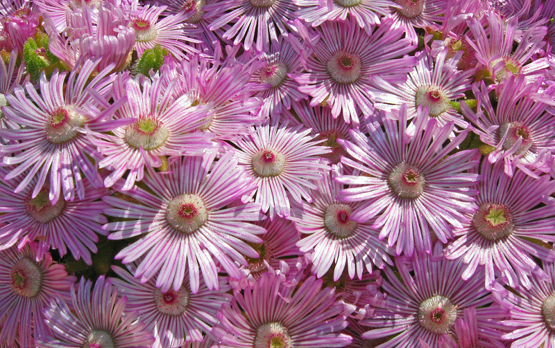 March 18, 2009 - Drosanthemum striutum in my front yard in Vacaville, CA.