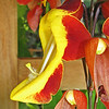 March 28, 2009 - Clock Vine (Thunbergia mysorensis) at San Francisco Conservatory.
