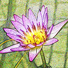 March 28, 2009 - Water Lily at San Francisco Conservatory. Texturize in Photoshop Elements.