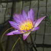 March 28, 2009 - Water Lily at San Francisco Conservatory.
