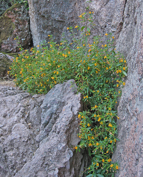 May 24, 2009.  Sticky Monkeyflower at Pinnacles National Monument, California.