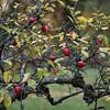 Last Apples - De sidste æbler.<br /> Æblehave ved Vallø Slot, Sjælland, Danmark.
