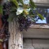 Grapes of Wreck.<br /> Druer fotograferet på et gammelt hus bag Kunstindustrimuseet, Bredgade, København.