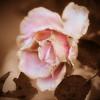 Gammel rose.