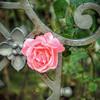 Iron Rose.