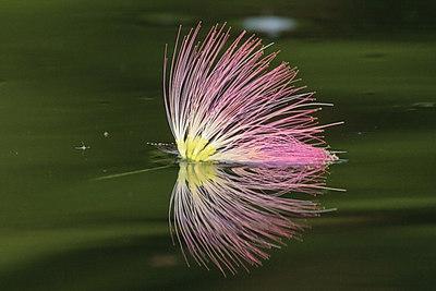 mimosa4