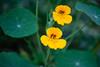 Nasturtium, Tropaeolum - Flowers and Plants - Dilkusha Nature Reserve, Maleny, Sunshine Coast Hinterland, Queensland; 11 February 2015. Photos by Des Thureson