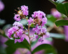 A bee buzzing around a Pride of India, Crepe Myrtle, Lagerstroemia - Flowers and Plants - Dilkusha Nature Reserve, Maleny, Sunshine Coast Hinterland, Queensland; 11 February 2015. Photos by Des Thureson