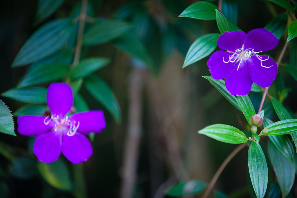 Tibouchina -  Flowers and Plants - Dilkusha Nature Reserve, Maleny, Sunshine Coast Hinterland, Queensland; 11 February 2015. Photos by Des Thureson
