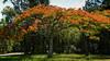 Poinciana - Delonix regiaFlowers and Plants - Dilkusha Nature Reserve, Maleny, Sunshine Coast Hinterland, Queensland; 16 December 2014. Photos by Des Thureson