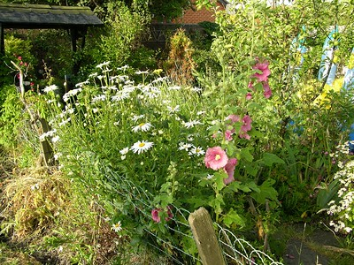 Shasta Daisies and Hollyhocks in our garden in Seaton Carew, Hartlepool, England.