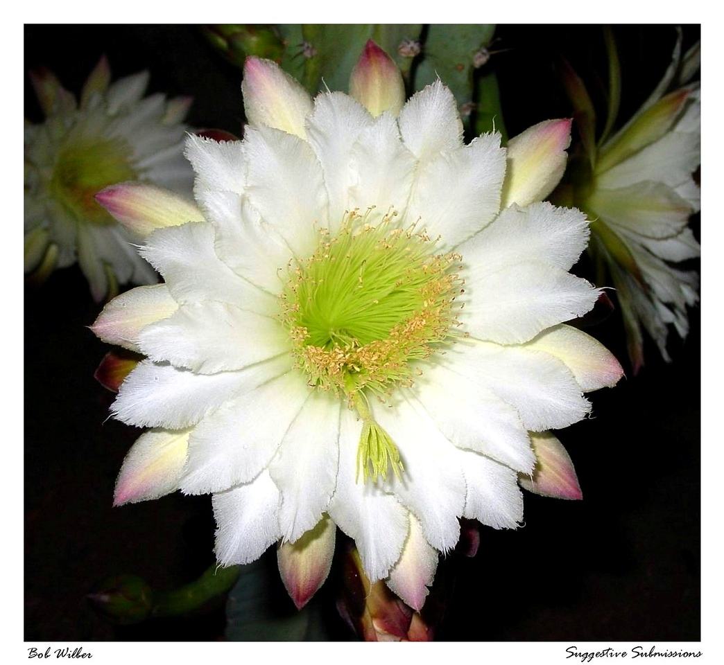 "This is what ""Mom's Flower"" (below) looks like at 2:00 a.m. in the morning.  You see cactus flowers like this one are unusual as they only bloom at night.<br /> <br /> This georgous shot is thereby entitled ""Night Bloom"""