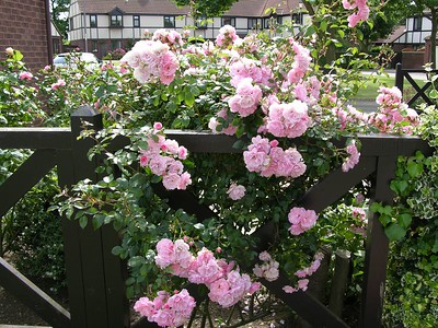 NV032 Roses in the gardens of The Sycamores, Hartlepool, England