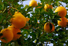 Oranges in Phoenix, Arizona