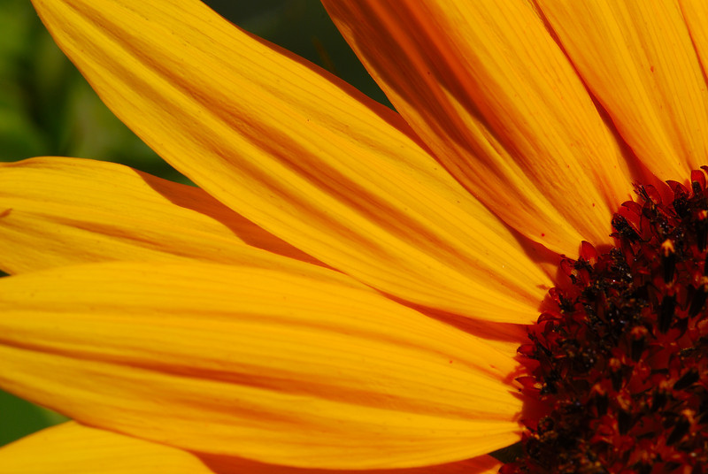Sunflowers in our Garden, 2008.