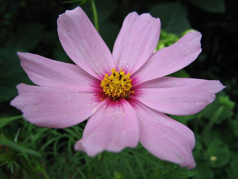 00aFavorite Pink flower at Winghaven Garden, Charlotte