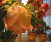 20070225 Aging Valentine's Rose