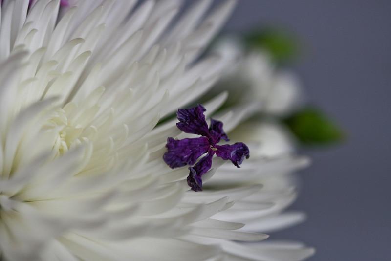 03152008 Purple petal that fell on white mum, Sangeeta's arrangement