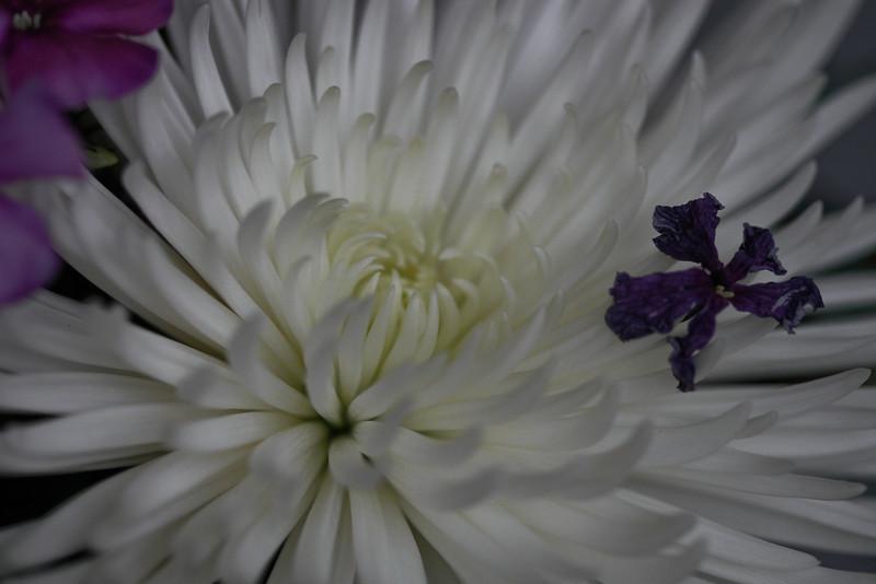 03152008  Purple petal on white mum 2