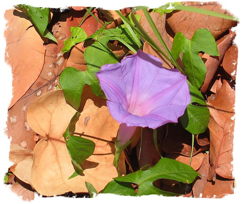 Morning Glory (I think) bloom cl - Hugh Taylor Birch State Park, Ft Lauderdale [washed-out frame]