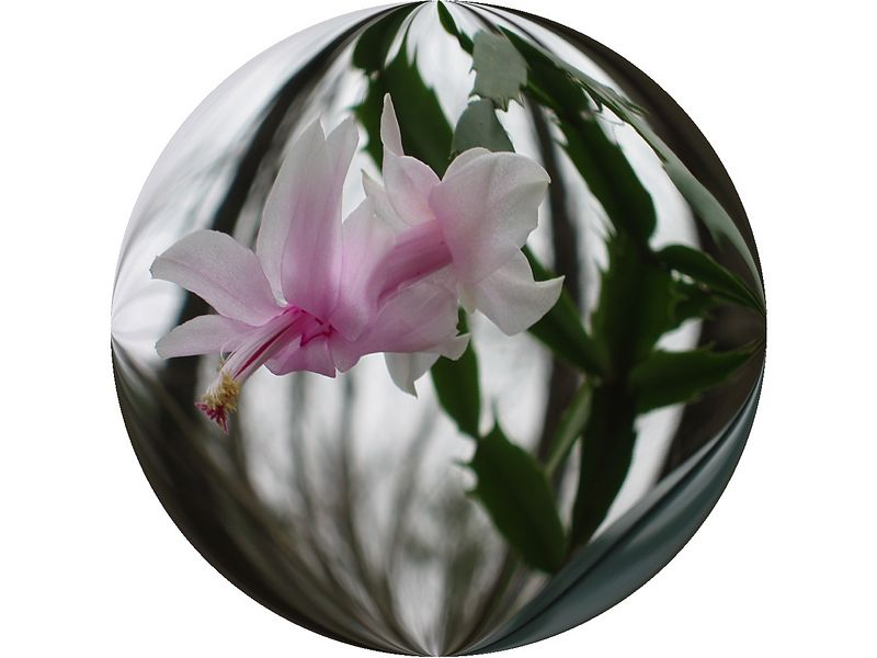 Christmas Cactus bloom [ball effect]