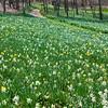 "daffodils, ""Narcissus alcaracensis"""