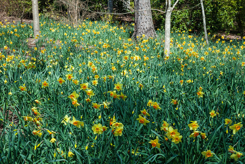 Narcissus alcaracensis, Daffodils