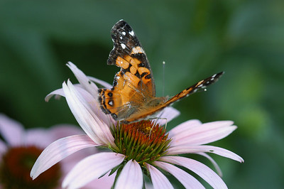 a Purple cone flower with a painted lady butterfly.