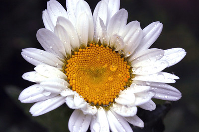 A yellow daisy after a sping rain.
