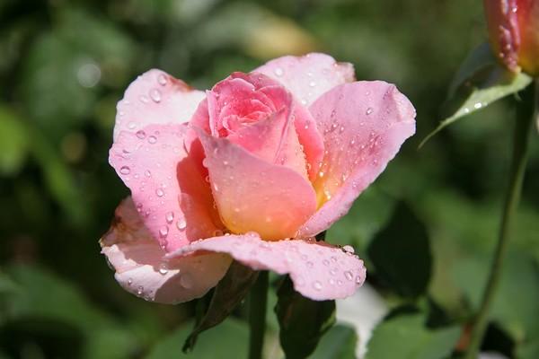 Flowers (July 29 2005)