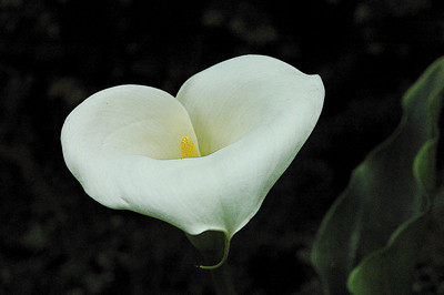 arum in the afternoon