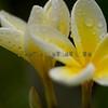 Plumeria (frangipani)