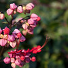 Another Hong Kong shrub blossoming in winter