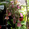 """""""Allium bulgaricum - Nectaroscordum siculum - Honey Garlic"""""""